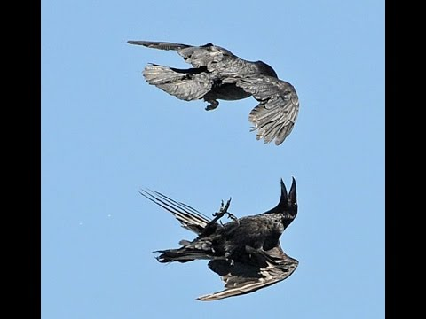 Pet Raven can fly upside down