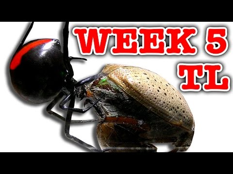 Deadly Spider Vs Christmas Beetle Bug Battle Week 5 Timelapse Educational Video