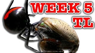 Download Deadly Spider Vs Christmas Beetle Bug Battle Week 5 Timelapse Educational Video