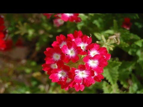 Most Beautiful Geranium Flower Ever You Seen