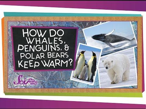 How do Whales, Penguins, and Polar Bears Keep Warm?