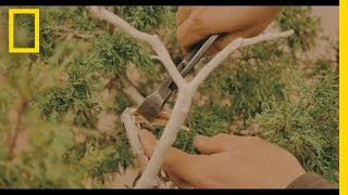 The Art of Shaping a Bonsai Tree | Short Film Showcase