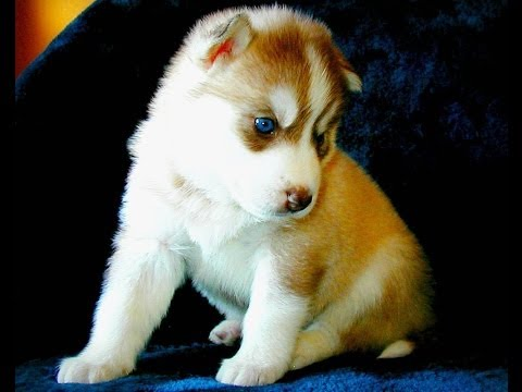 Help Name Our Dog - New Husky Pup Soon On Its Way- Our List, You're Votes/Suggestions- Comment Below