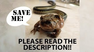 Freeing toad from dead snake