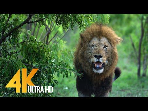4K African Wildlife | African Nature Showreel 2017 by Robert Hofmeyr