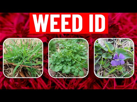 Weed Identification in Spring - Identify Weeds in the Lawn