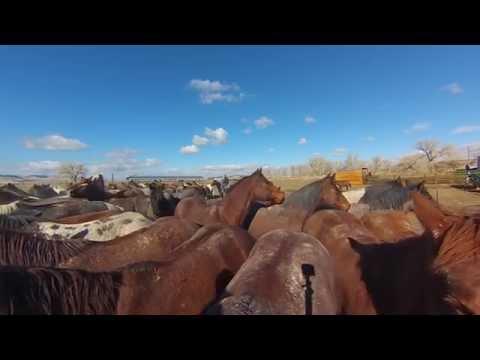 Remuda-horses facing the rope * TS & Spanish Ranch, NV HD