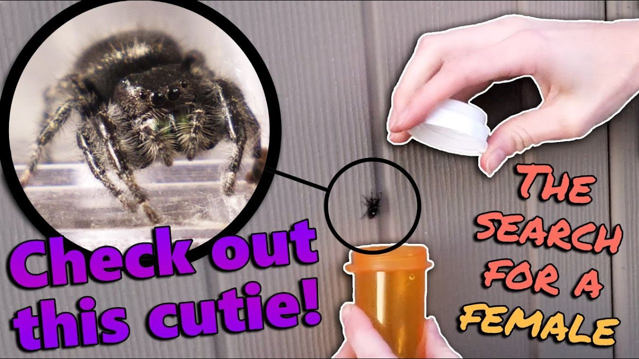 Collecting Wild Jumping Spiders!