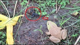 Download Amazing - frog real fight scorpion | scorpion vs frog in Asia | frog swallow scorpion Video