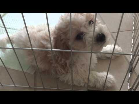 Puppy making sneezing, coughing, choking sound - Kennel Cough 2