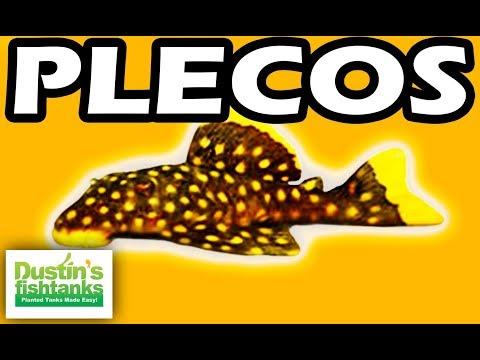 PLECOS - TOP 10 Aquarium PLECO FISH, Bristlenose, Zebra Plecos
