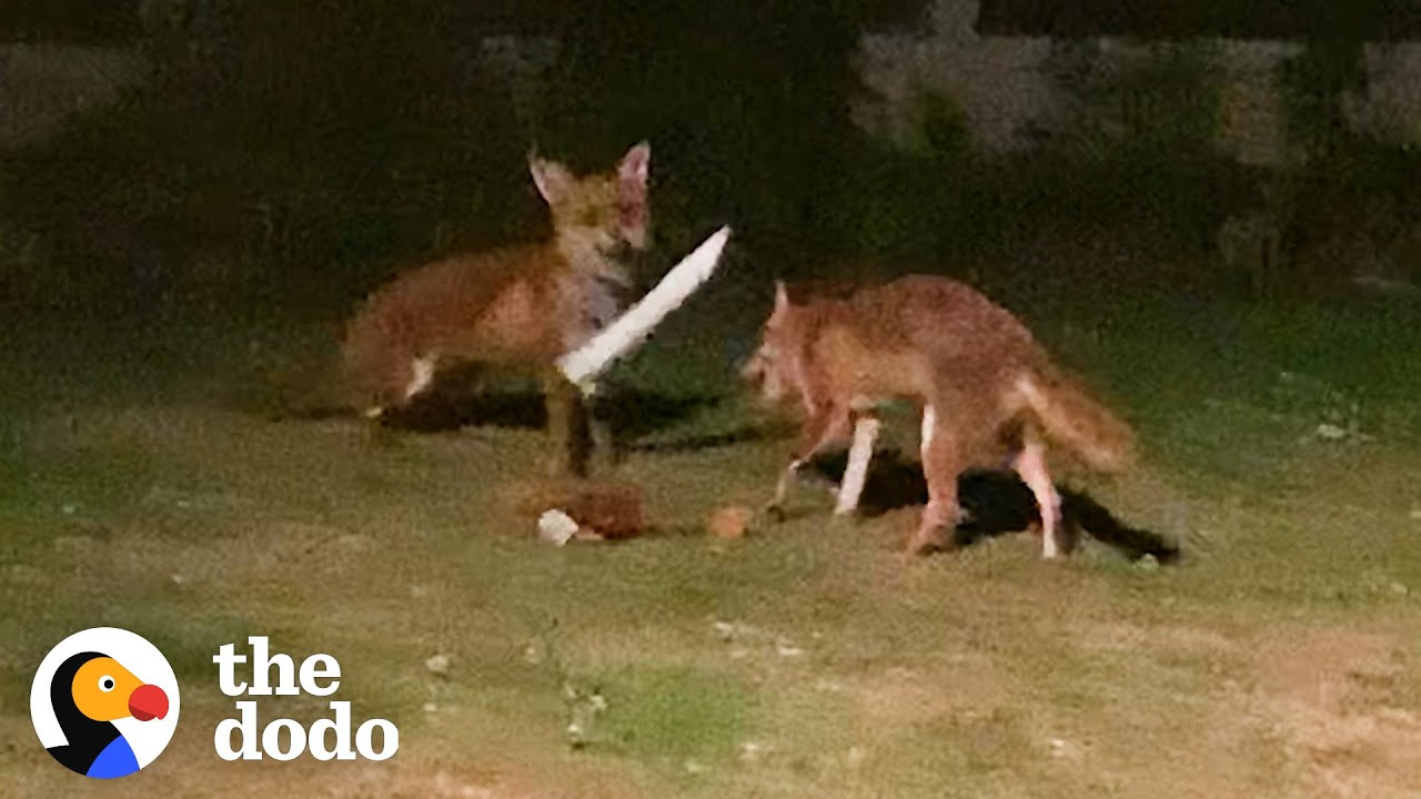 Foxes Sneak Into Backyard And The Cutest Thing Happens | The Dodo Wild Hearts