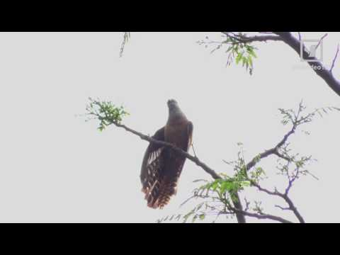 Three Different Calls by Plaintive Cuckoo (in Hong Kong)