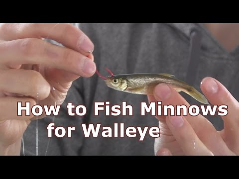 Walleye Fishing with Minnows - How To Hook and Jig Live Bait