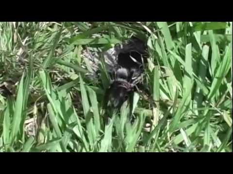 This is how you catch a wild tarantula!