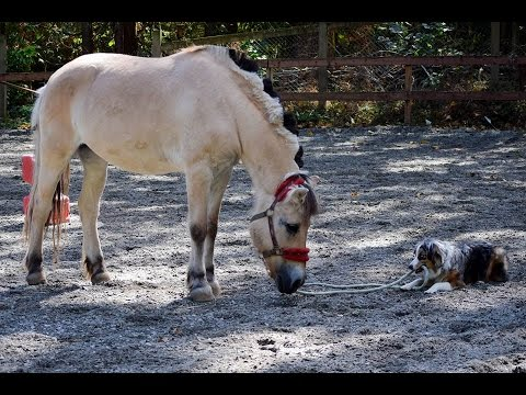 Dog Takes his Pony for a Walk