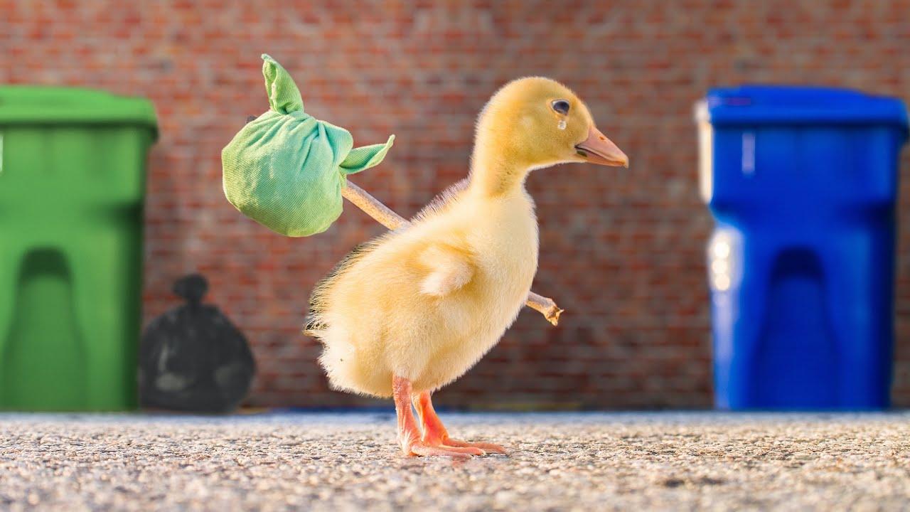 The Runaway Duck