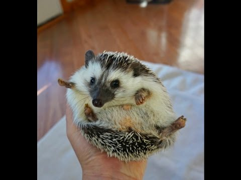 Do You Really Want a Hedgie? - Common Hedgehog Misconceptions