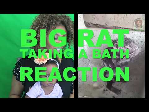 Rat Taking a Bath Reaction - GloZell