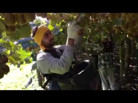 kiwi fruit picking new zealand