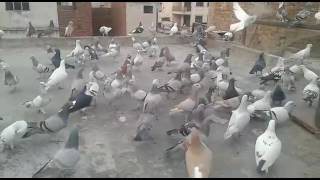 kabootar bazi in pakistan 2015 - Pakfiles com