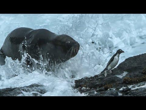 Huge Sea Lion preys on Penguins - Wild Patagonia - BBC Earth