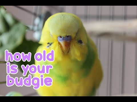How Old is Your Budgie?