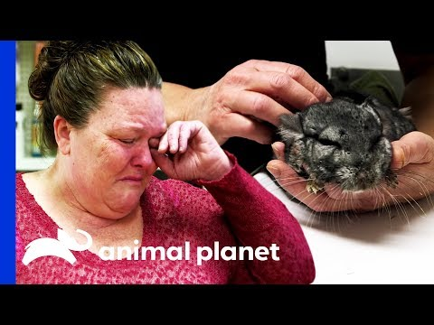 Sickly Chinchilla Leaves Owner in Tears