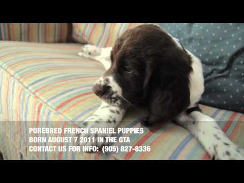French Spaniel Puppies - Fall 2011