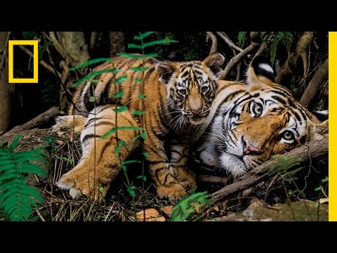 Tigers Forever: Saving the World's Most Endangered Big Cat | National Geographic