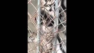 Hổ bất ngờ cắn đức chân người