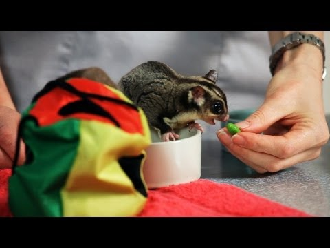 How to Feed a Sugar Glider | Sugar Gliders