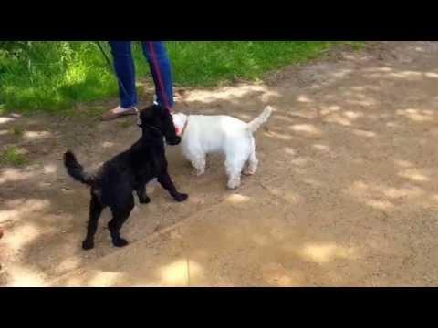 West wearing a doddle meets cute little black dog - what happens?