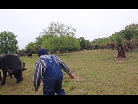 We almost got run down by an organic water buffalo
