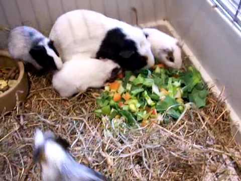 Bobtails Rescue: Feeding the baby guinea pigs