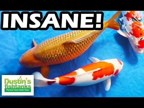 KOI FISH SHOW - Selecting Champion Koi For Your Garden Pond