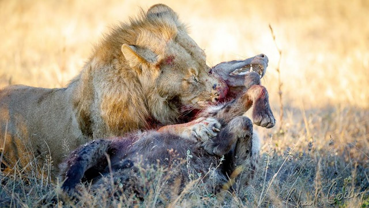 TOP 5 LIONS DEFEAT HYENAS MOMENTS || Lion eating alive hyenas