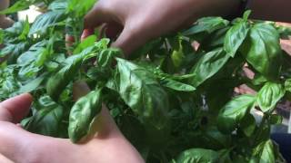 How To Prune And Harvest Basil