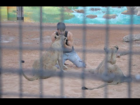 A Man Play with Lion in Ras Al Khaimah Zoo, UAE