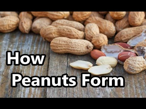 How A Peanut Forms ( Store Bought Raw Peanuts )