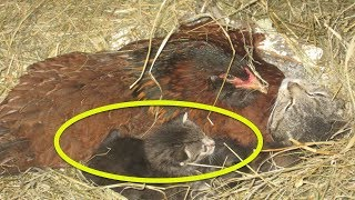 When A Farmer Realized What This Hen Was Sitting On, It Was Like Nothing He'd Ever Seen Before
