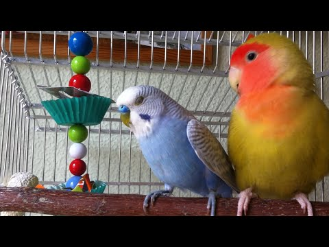 Foraging toys for budgies & lovebirds