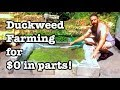 $0 Duckweed Production - On a driveway!
