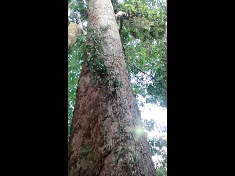 Big Mango Tree