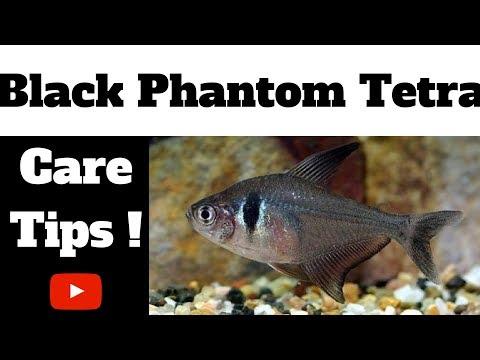 Black Phantom Tetra Care Tips
