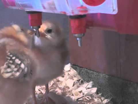 Baby Chicks Drinking BriteTap Chicken Waterer