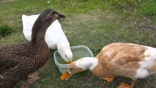 Pet Ducks Celebrate Their First Birthday With Peas
