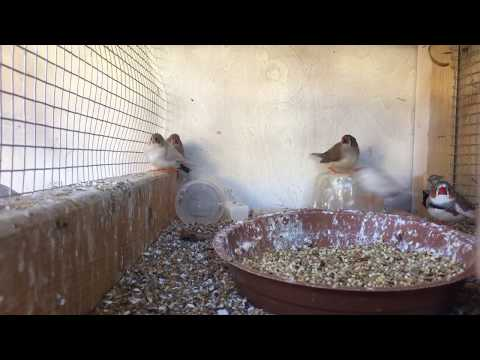 New Babies Before Weaning The Old Clutch?/Quick Finch Update