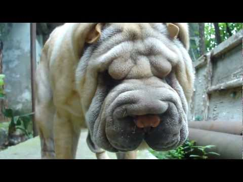 My Sweet Dog Charly - Shar Pei