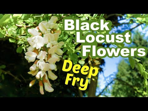 Eat Black Locust Flowers: Deep Fried and Delicious